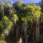 wisteria growing over part of the ancient stonework