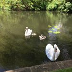 baby cygnets on the lake